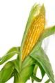 corn_0641