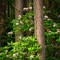 Douglas Fir and Rhododendron_web