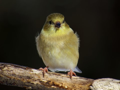coldgoldfinch2