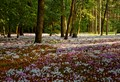 Cyclamen Forest Floor