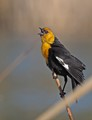 blackbird yellow3
