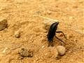 Head Stand Black Beetle