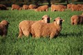Red sheep, green grass
