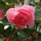 Mums Rose Bush