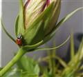 Ladybug on Tulip 2
