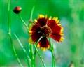 B,red flower