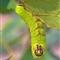 Luna Moth Caterpillar (3)