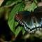 Torn Butterfly