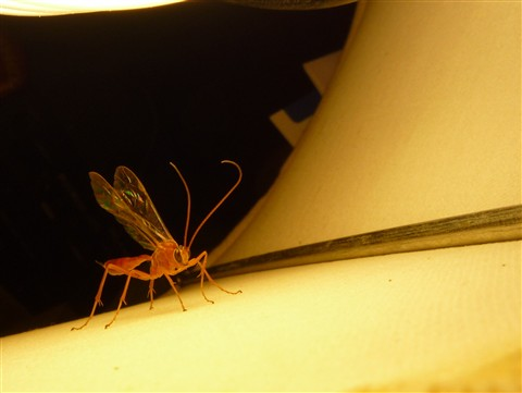 Ichneumon Wasp in a Lampshade