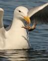 Seagull Crabing
