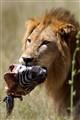 Lion snack, Chobe Botswana