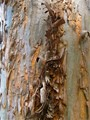 Coarse Bark on a Eucalyptus Tree