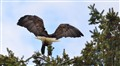 Adult Bald Eagle Landing