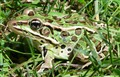 Northern_Leopard_Frog