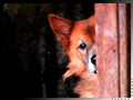 Peek-A-Boo Foxy