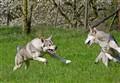 Saarlooswolfdogs