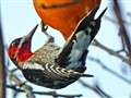 Red-Breasted Sapsucker and Persimmon