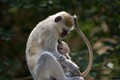 Vervet Monkey - mother and child - at Victoria Falls, Zimbabwe