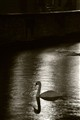 Swan in Bruges