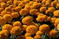 Cempasuchil Flowers (Flor de Muertos).