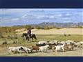 goat herder, mongolia