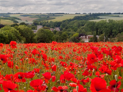 Wiltshire Poppies-1