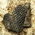 Paleozoic fossils - the strain lycopodiophytes (Carboniferous Period)