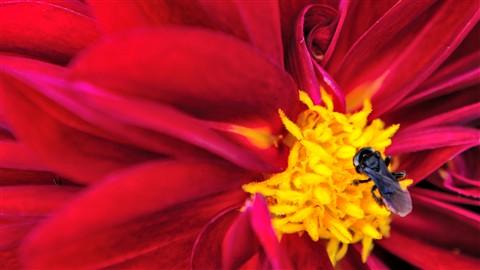 Brazilian Black Bee