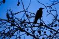 Silhouette of a Blackbird-0507