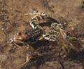 Frog at Estany de les Abelletes