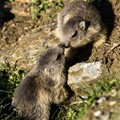 Young marmots in Gran Paradiso National Park, Italy