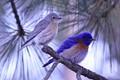 Western Blue Bird pair