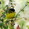 DSC08469 lesser goldfinch small