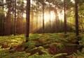 Forest Dawn IV