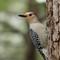 Red Bellied Woodpecker 2 Origwk1_MG_1595