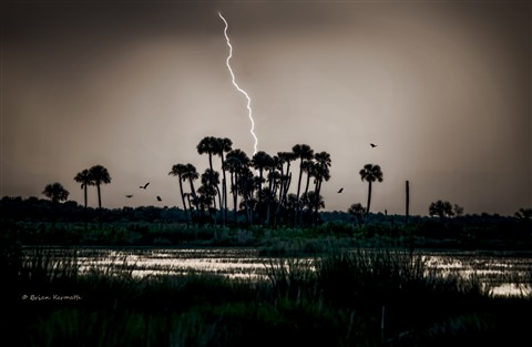 Lightning over cabbage palms (Sabal palmetto - Arecaceae) with vultures in flight