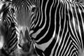 zebra_0028