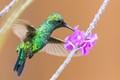 male blue-tailed emerald hummingbird