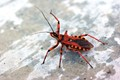 Assassin bug, Archangelos, Laconia