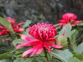 Waratah 🌺 is the Aboriginal name for the species or Telopea speciosissima, 'speciosus' meaning beautiful or handsome. The iconic Australian bush flower measuring up to 15cm across and blossom in spring.