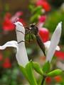 Robberfly on Salvia