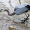 Great Blue Heron: Catching small fish in Clark Creek