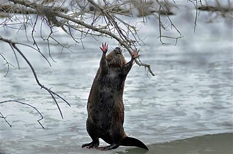 No more beaver