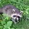 Raccoon 20040702