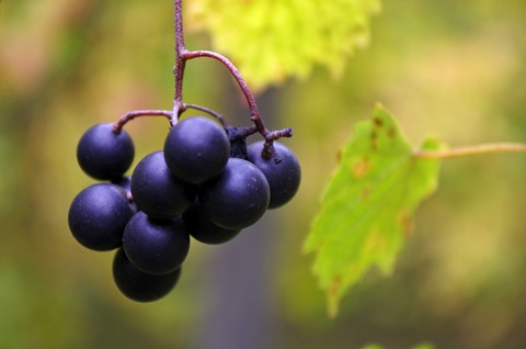 grapes dark with stem