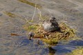 Female Pied Billed Grebe on nest