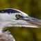 DPR - Great Blue Heron Intensity