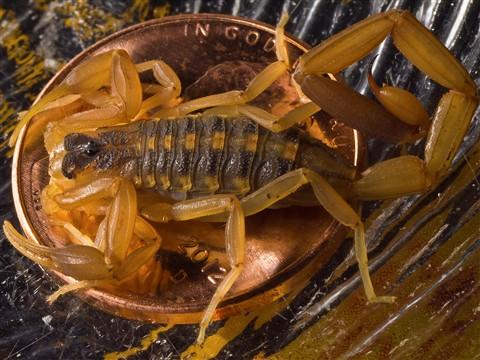 Scorpion penny.5