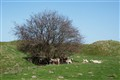 Tree and sheep