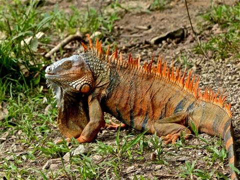 Green Iguana (male) 20163